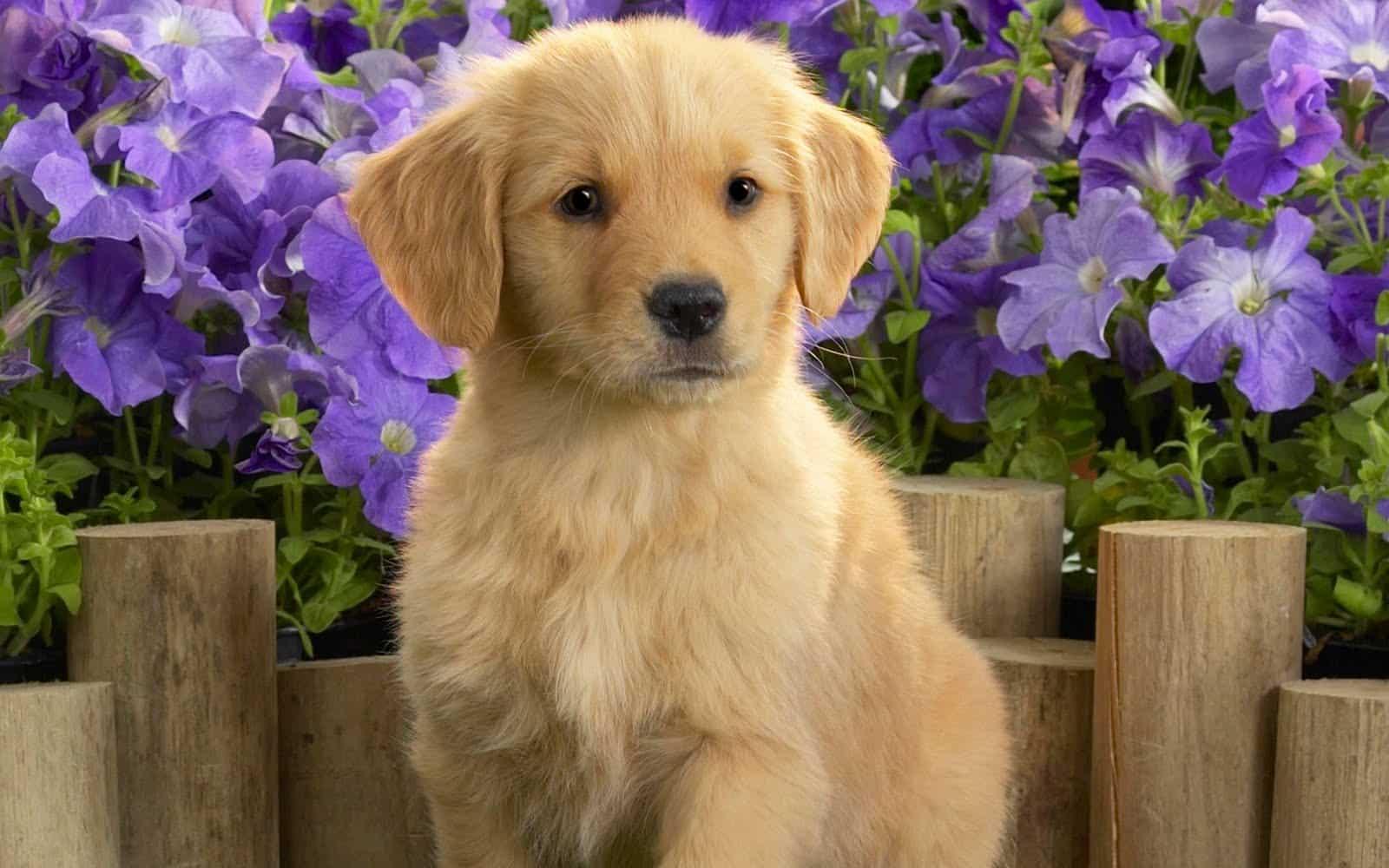 Le golden retriever, un chien qui demande de l'attention